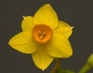 Flower - natural