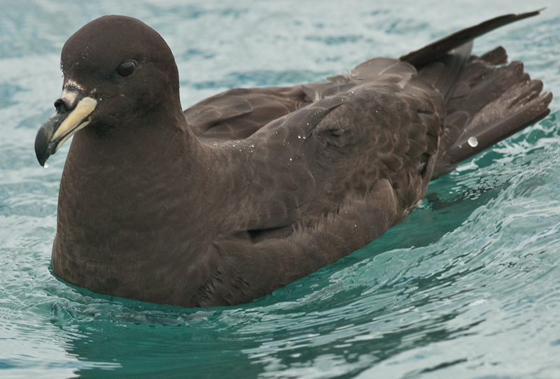 Flesh-footed shearwater 0162