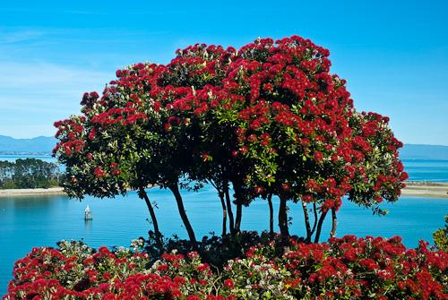 pohutukawa tree | Views from the Bay