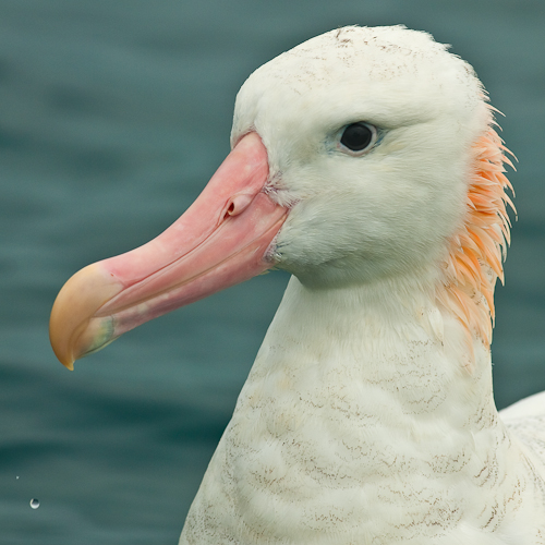 Wandering Albatross 1
