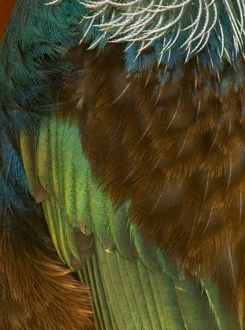 Tui feathers