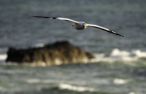 Muriwai gannet colony